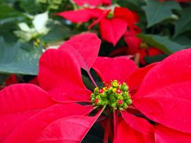 picture of poinsettia  - Closeup of a red poinsettia flower with foliage and white poinsettias in the background - JPG