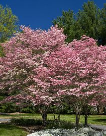 stock photo of japanese magnolia  - Beautiful dogwood trees in full bloom in the springtime - JPG