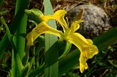 stock photo of marshes  - Wilderness at the river fly hiding in the flower iris yellow or marsh - JPG