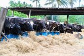image of dairy barn  - cows in a farm Dairy cows eating in a farm location Thailand - JPG