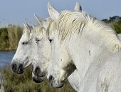 foto of hackney  - Portrait of the White Camargue Horse - JPG