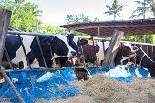 pic of cow  - cows in a farm Dairy cows eating in a farm location Thailand - JPG