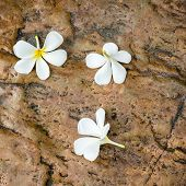 stock photo of plumeria flower  - Leelavadee Plumeria flowers on the rock in garden - JPG