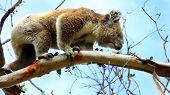 image of koala  - Koala in Great Ocean Road - JPG
