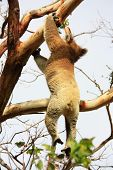 pic of koala  - Koala in Great Ocean Road - JPG