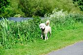 foto of poodle  - Australian Labradoodle walking in the park - JPG