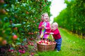 picture of apple orchard  - Child picking apples on a farm in autumn - JPG