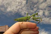 picture of creepy crawlies  - green praying mantis close up  - JPG