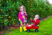 stock photo of apple orchard  - Child picking apples on a farm - JPG