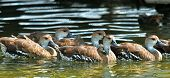 picture of duck  - Swimming Cuban or West Indian Whistling Duck  - JPG