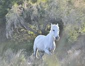 image of hackney  - Portrait of the White Camargue Horse - JPG