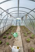 foto of early spring  - the arch of the greenhouse tomato seedlings in early spring - JPG