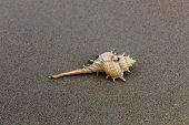 pic of conch  - Lonely white conch on the sea beach - JPG