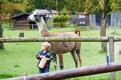 stock photo of lamas  - Happy little blond kid boy feeding big lama on an animal farm - JPG