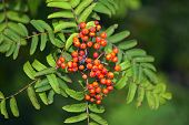 stock photo of rowan berry  - Red rowan berries against green leaves in autumn - JPG