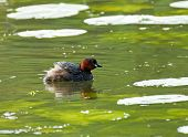 stock photo of grebe  - Adult Little Grebe in breeding plumage on lake - JPG