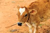 picture of calves  - Closeup on the face of a calf with white heart shaped patch on its forehead - JPG