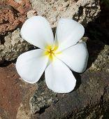 image of frangipani  - White Frangipani flower on rough stone backgrund in Sri Lanka Asia - JPG