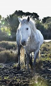 picture of hackney  - Portrait of the White Camargue Horse - JPG