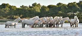 stock photo of hackney  - Herd of White Horses Running and splashing through water - JPG