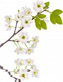 illustration with cherry tree flowers isolated on white background