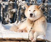 Chukchi Husky Dog