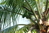 Coconuts From Below