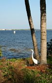 Great White Heron By The River