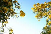 Yellow Tabebuia Flowers Against Blue Sky