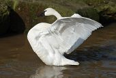 A trumpeter swan 1