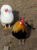 cock chicken