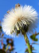 Fluffy Coltsfoot