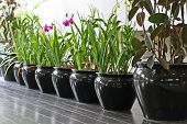 Row of tropical flowers in black ceramic pots