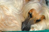 Afghan Hound Dog Sleeping