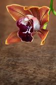 Cymbidium Orchid Pendulous