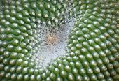 Cactus Close Up (Cactaceae)