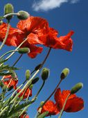 Red Poppies in May from Below