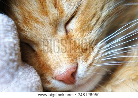 poster of Sleeping Ginger Cat Close-up Pink Cat's Nose Muzzle Near