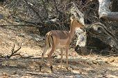 Antílope africano