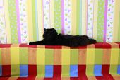 Lazy Black Cat Laying On Colored Back Of Sofa. Black And White Cat Laying Down Lazy Paws Up On Sofa. poster