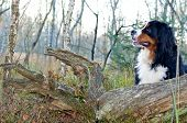 Bernese Cattle Dog Dog In The Nature