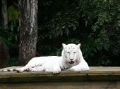 White Bangal Tiger