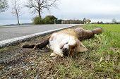 Roadkill Fox