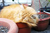 Ginger The Cat Is Sleeping In A Pot poster