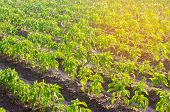 Vegetable Rows Of Pepper Grow In The Field. Farming, Agriculture, Vegetables, Eco-friendly Agricultu poster