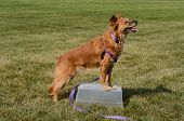 Brown Mixed Breed Dog With Front Legs On Makeshift Table And Staying In Place To Practice One Trick  poster