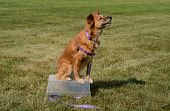 Brown Mixed Breed Dog With All Four Legs On Makeshift Table Practicing One Trick For Trick Dog Title poster