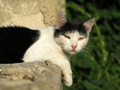 Black And White Village Cat Sitting On An Old Stone Fence In A Countryside. A Stray Cat In Summer, A poster
