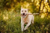 Active And Happy Retriever Labrador Dog Runs And Carries Stick To Owner Man. Concept Game With Pet. poster