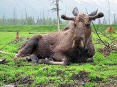 Sleepyhead Moose